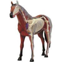 4HM studio 4D Anatomický model Kůň