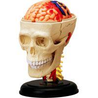 4D Anatomie člověka - lebka