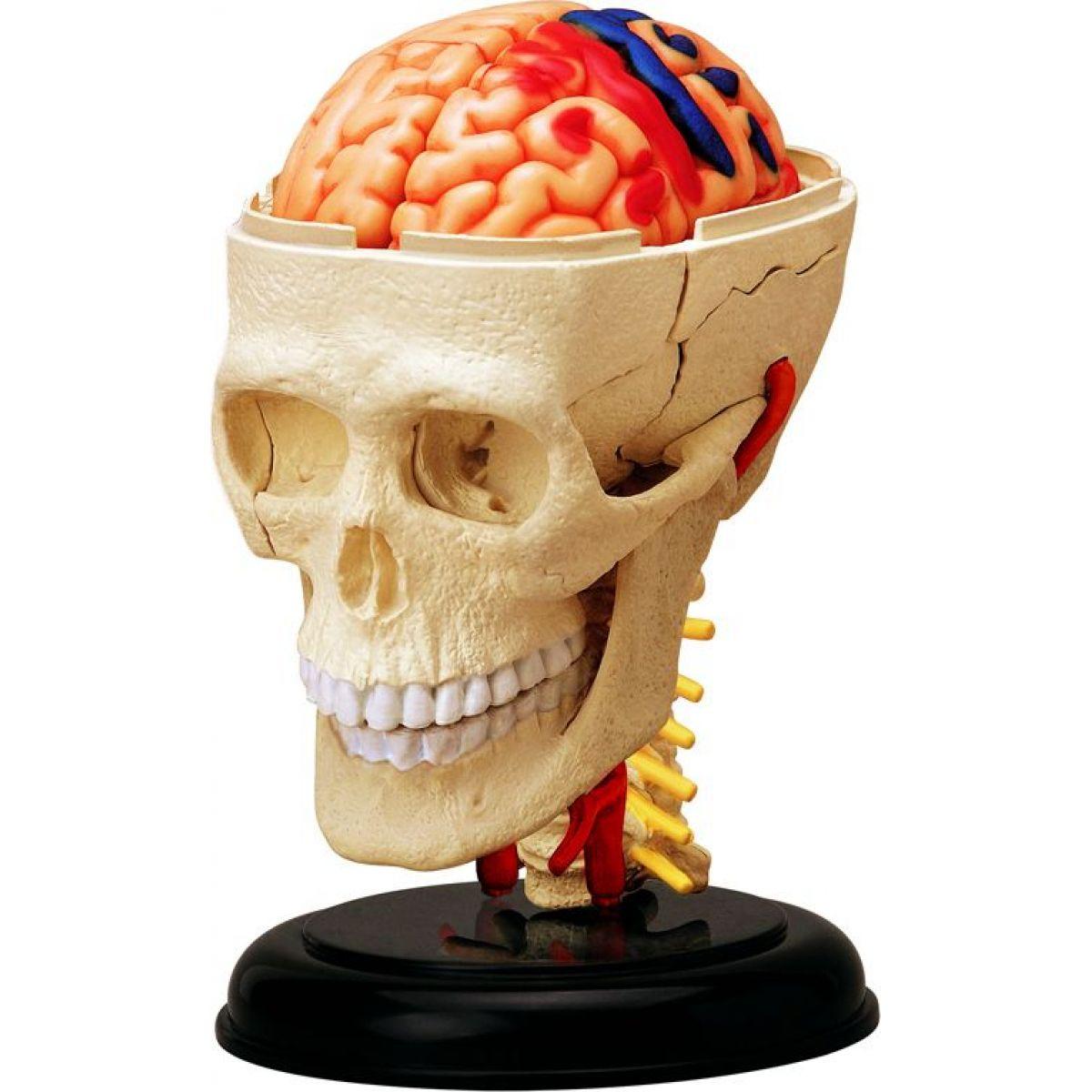 4D MASTER Anatomický model Lebka 39 dílků