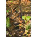 Clementoni Puzzle National Geographic Šimpanz 1000d 2