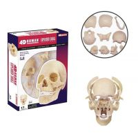 HM Studio Anatomie člověka lebka - Poškozený obal 2