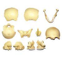 HM Studio Anatomie člověka lebka - Poškozený obal 4