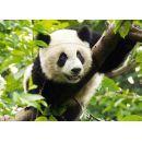 Trefl Puzzle Panda 500 dílků 2